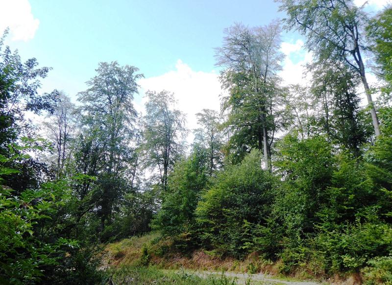 Absterbende Rotbuchen im Teutoburger Wald in Bielefeld